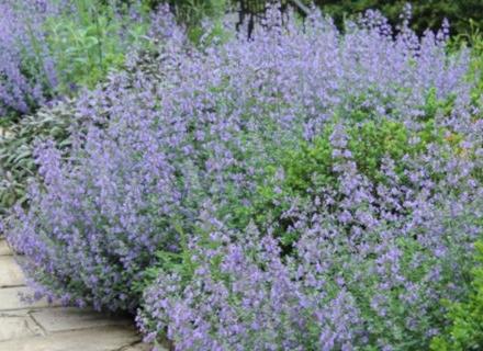 Лилави нотки в градината