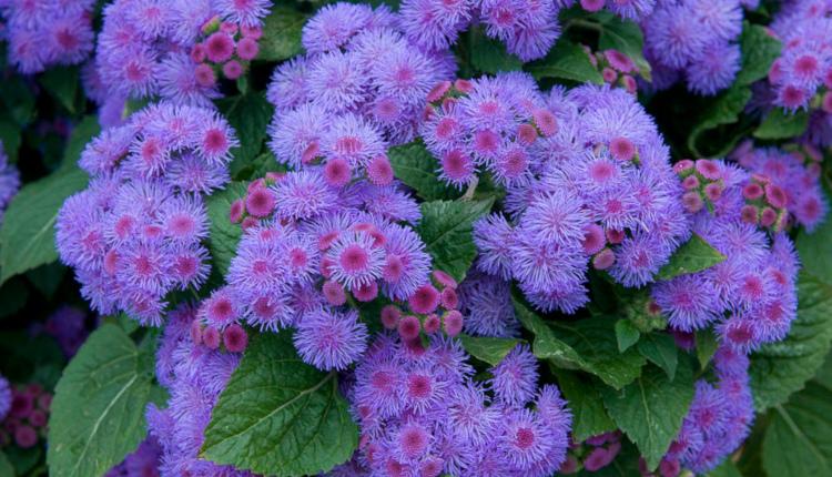 Агератум - синьо пухче за градината и балкона