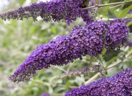 Будлея - ароматен пеперуден храст