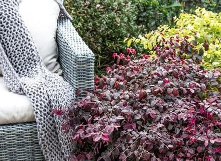 Лоропеталум - прекрасен аромат и колорит в градината