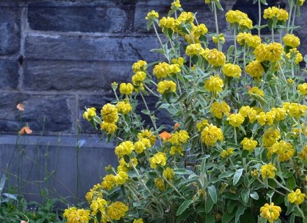 Фломис - жълто украшение за градината