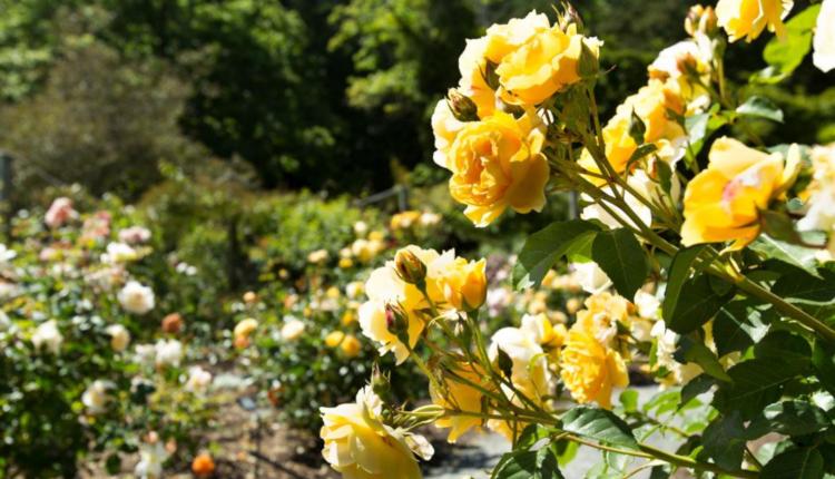 Жълто очарование в градината