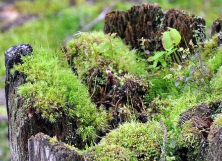 Мъхове и лишеи по овощните дървета