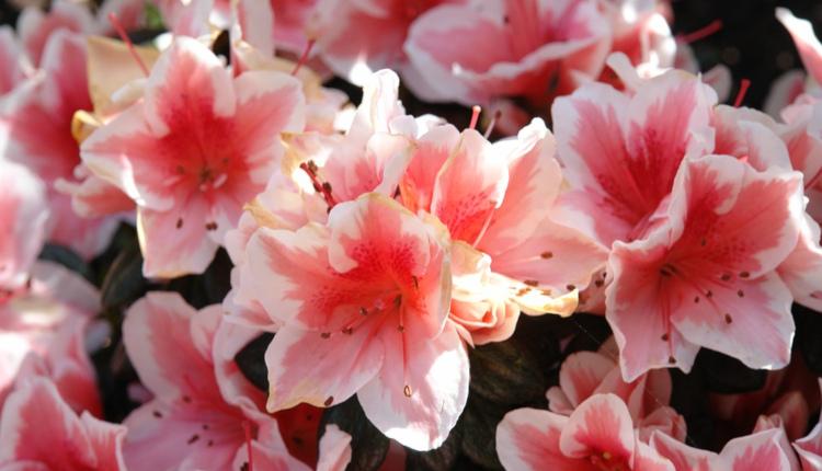 Азалия - капризната принцеса на цветята
