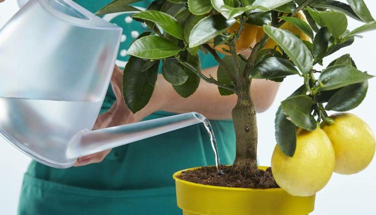 Стаен лимон