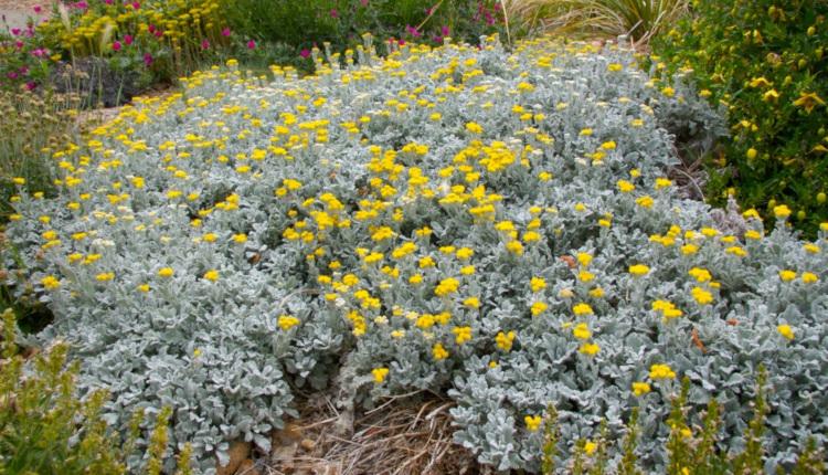 Растения със сребриста листна маса