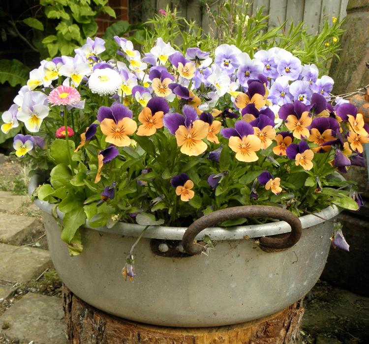 Как выращивать фиалки и украшать ими свой сад или дом