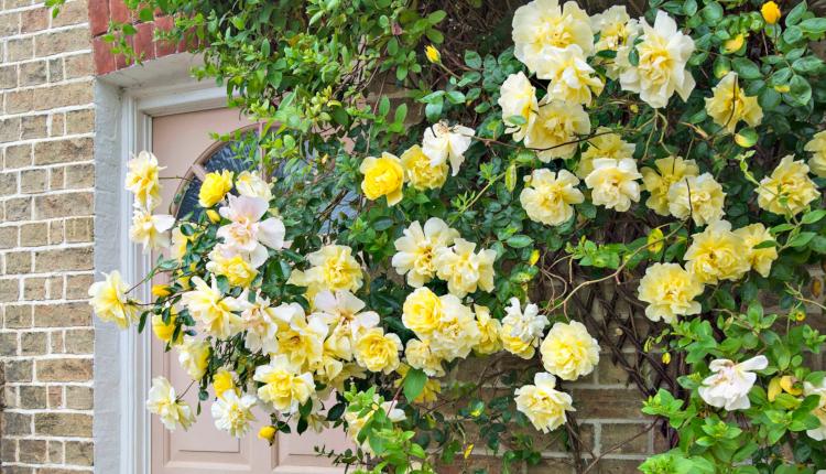 Как да си направим стена от рози