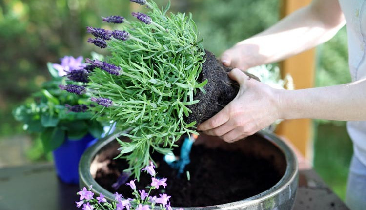С какви добавки да обогатим почвата на стайните растения