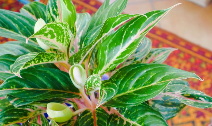 Аглаонема - сребърната царица на цветята
