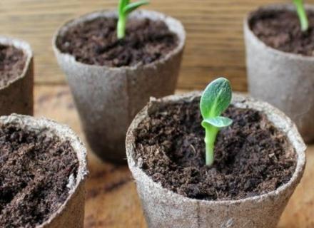 Пресаждане на разсада от семена