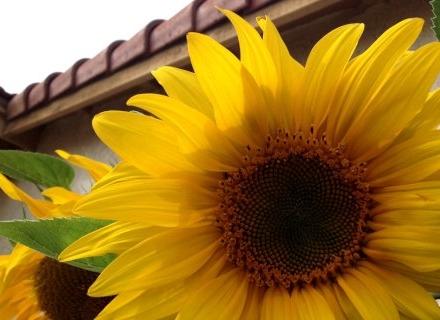 Декоративен слънчоглед краси оградата