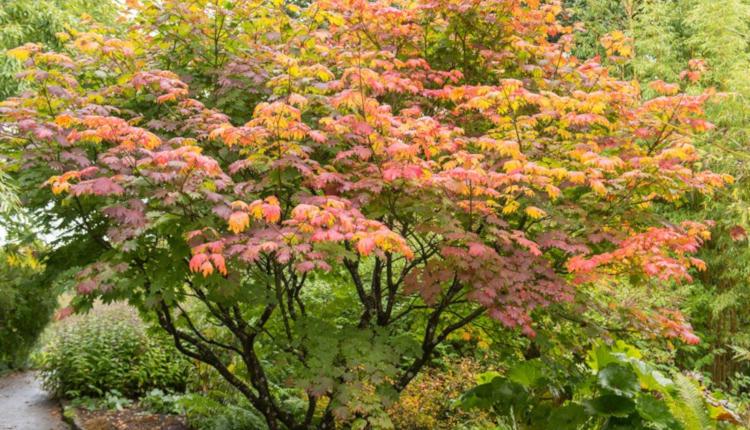 Кои декоративни дървета да отглеждаме в градината