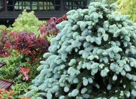 Иглолистни дървета и храсти за градината