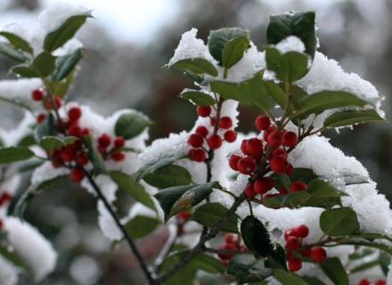 Вечнозелени дървета и храсти за красива градина посред зима
