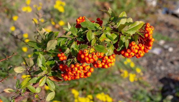 Декоративният ефект на плодчетата