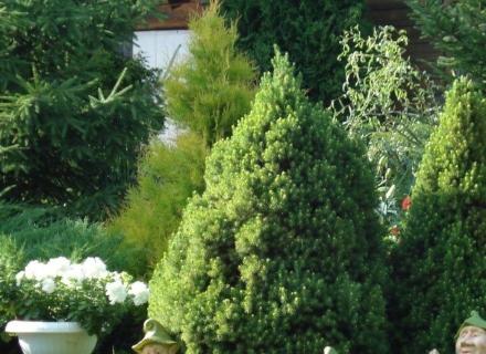 Иглолистни растения, подходящи за вертикални акценти