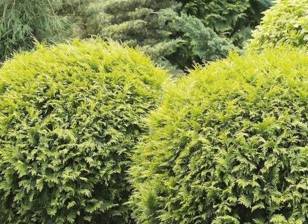 Иглолистни растения с кълбовидна форма
