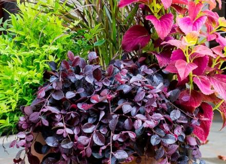 Пъстролистни растения в градината