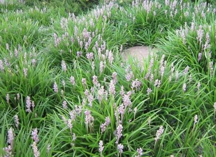 Лириопе - почвопокривно растение за проблемните зони в градината