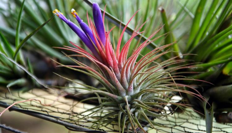 Тиландсия - как се отглежда въздушно растение