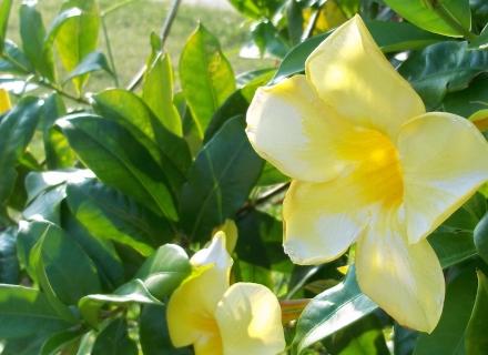 Жълта аламанда - тропическата красавица у дома