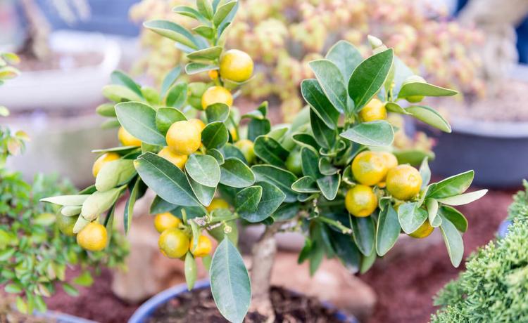 Грижи за лимона през зимата
