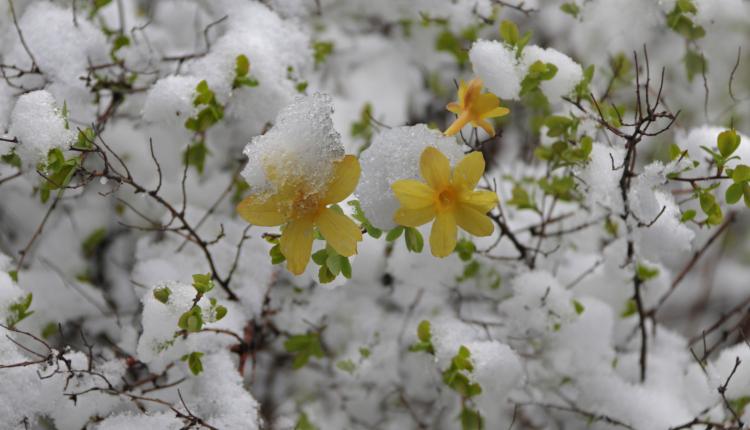 Ранноцъфтящи пролетни храсти