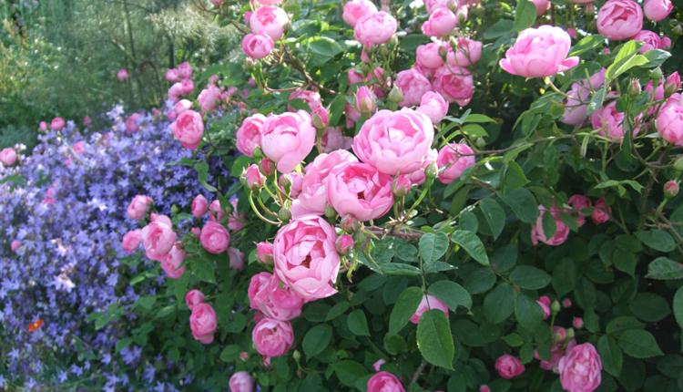 Розови украшения за градината