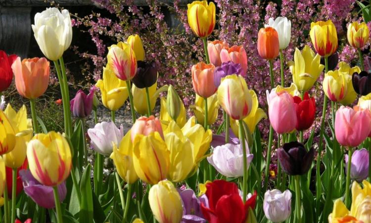 Пролетно засаждане на лалета