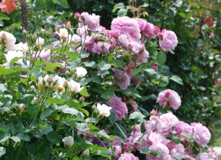 Грижи за розите през лятото