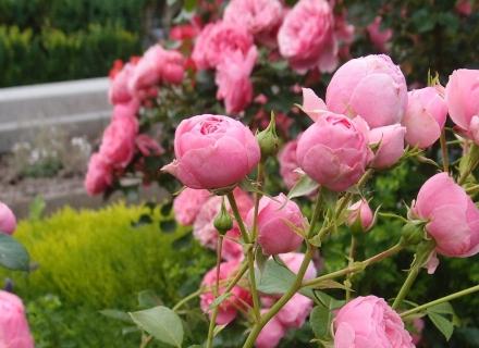 Размножаване на рози - различни методи