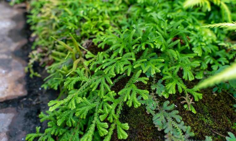 Селагинела - необичайно растение за дома