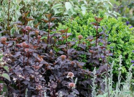 Растения с тъмна листна маса - ефектни бижута за градината