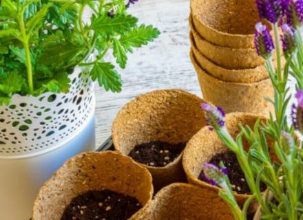 Как да отгледаме лавандула от семена?