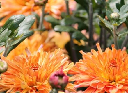 Хризантема - есенната красавица