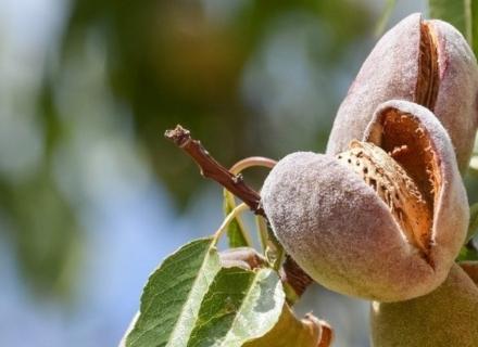 Бадемите се засаждат през есента